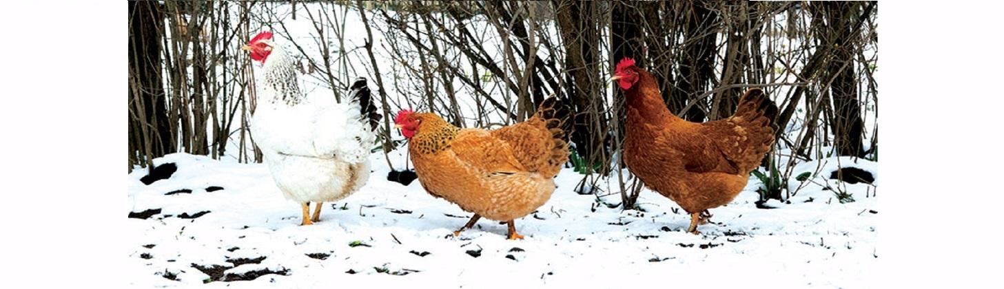 بیماری مرغ ها در زمستان