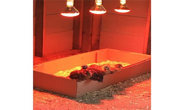 برای گرم کردن لانه مرغ در زمستان میتوانید از این روش استفاده نمایید...